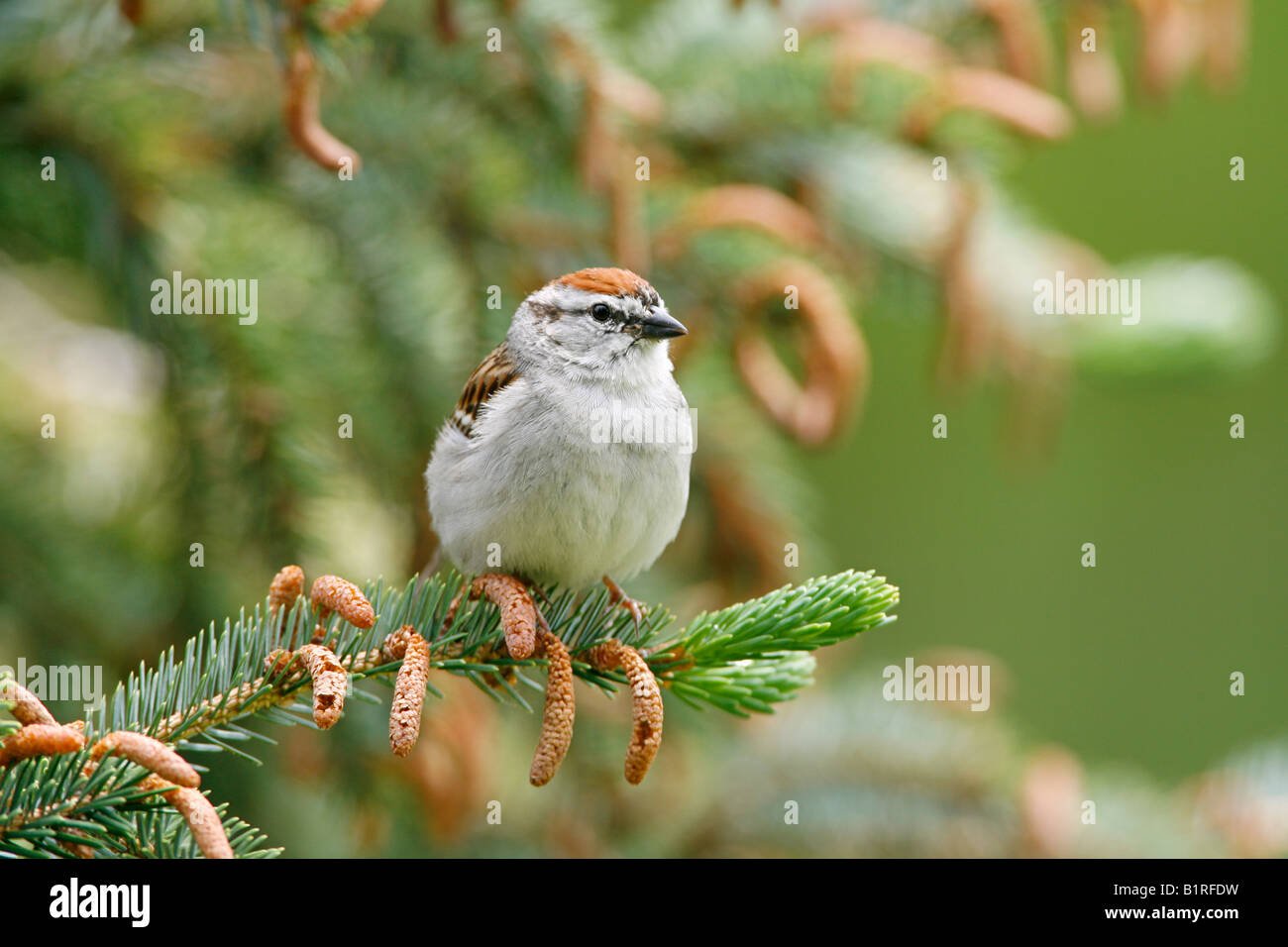 Chipping Sparrow perched in Spruce Tree - Stock Image