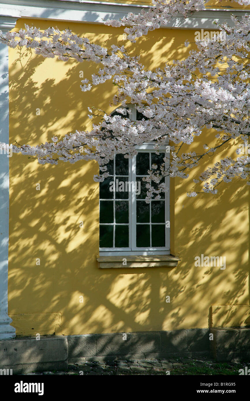 Cherry blossoms in front of a window to the horse stables, Wilhelmshoehe Castle, Kassel, Hesse, Germany, Europe - Stock Image