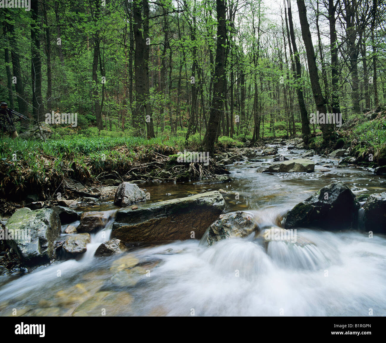 Natural forest stream in spring, High Fens, Eifel, Germany, Europe - Stock Image