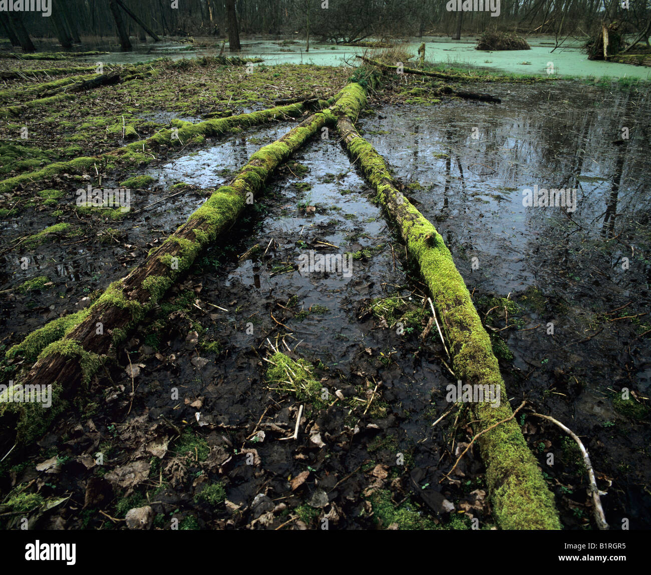Habitat, wetland with moss-covered deadwood, thick duckweed carpet at back Stock Photo