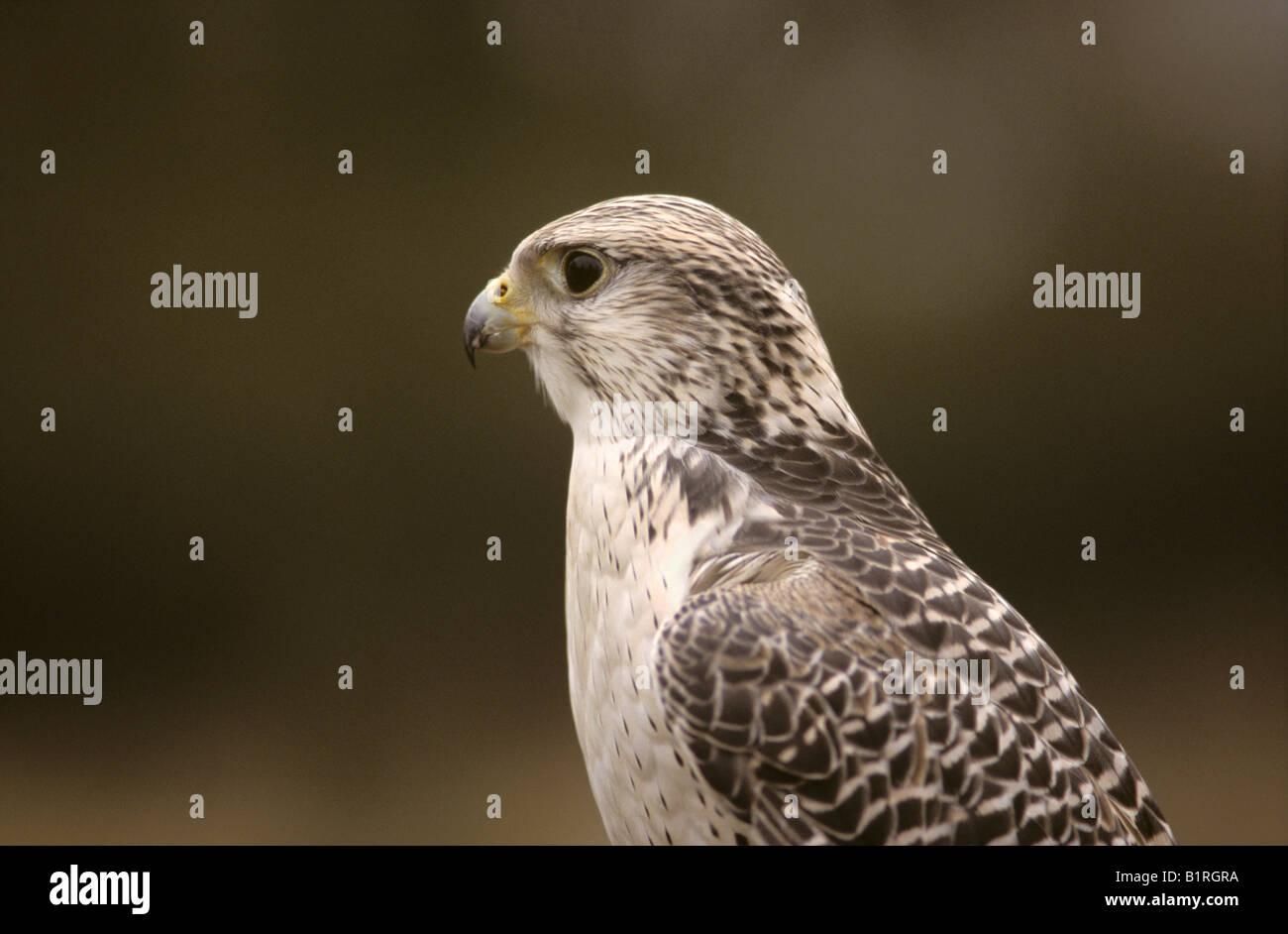 Falcon, Gyrfalcon-Saker Falcon crossbreed (Falco hybrid) - Stock Image