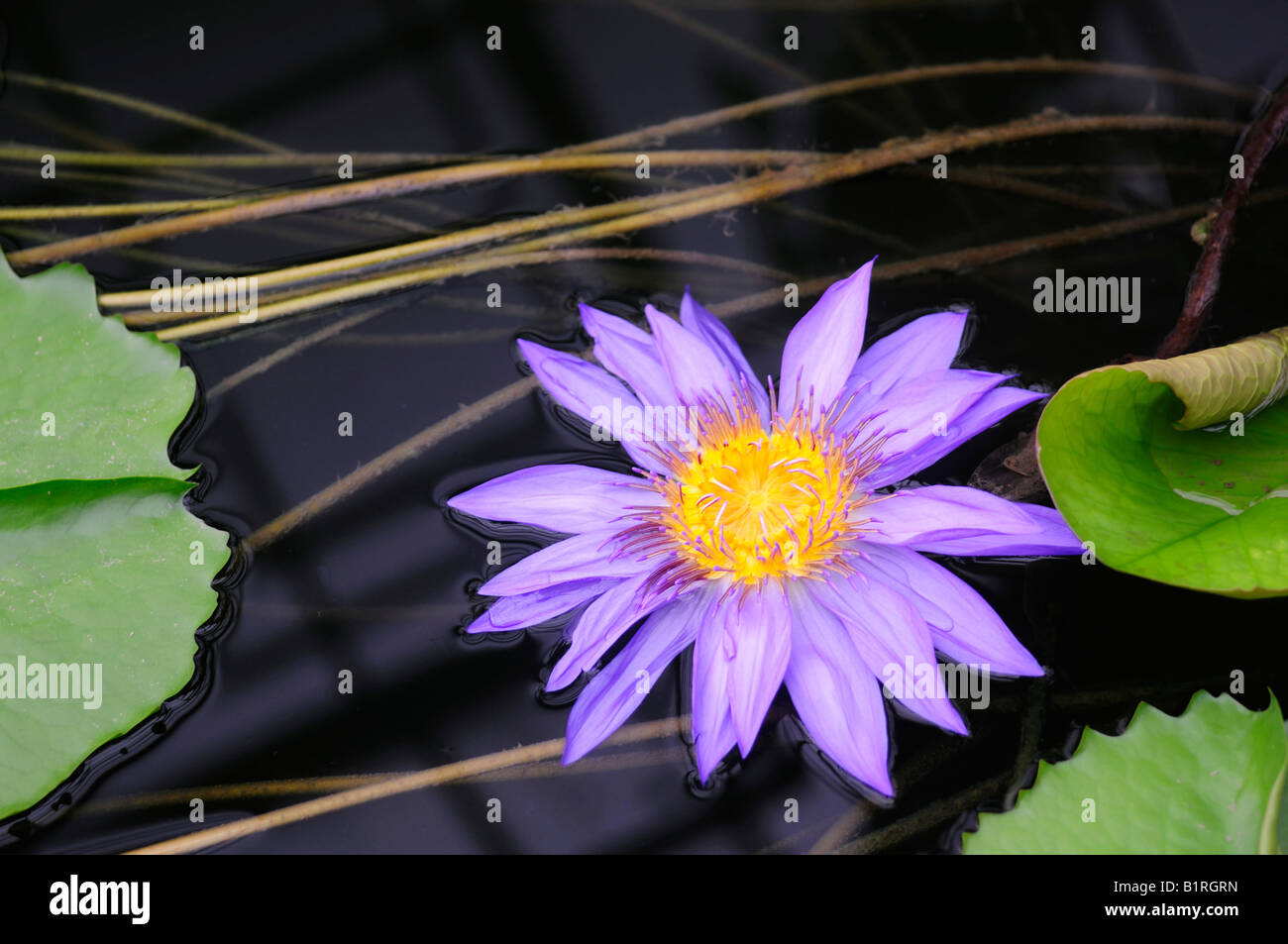 Blue Pigmy Waterlily (Nymphaea colorata), violet blossom Stock Photo