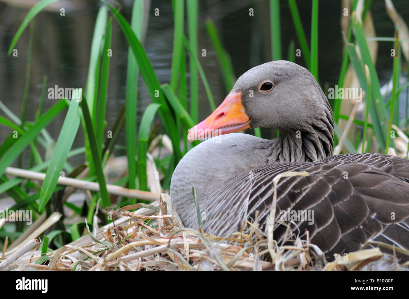 Greylag Goose (Anser anser) sitting on eggs in its nest made of reeds, North Rhine-Westphalia, Germany, Europe - Stock Image