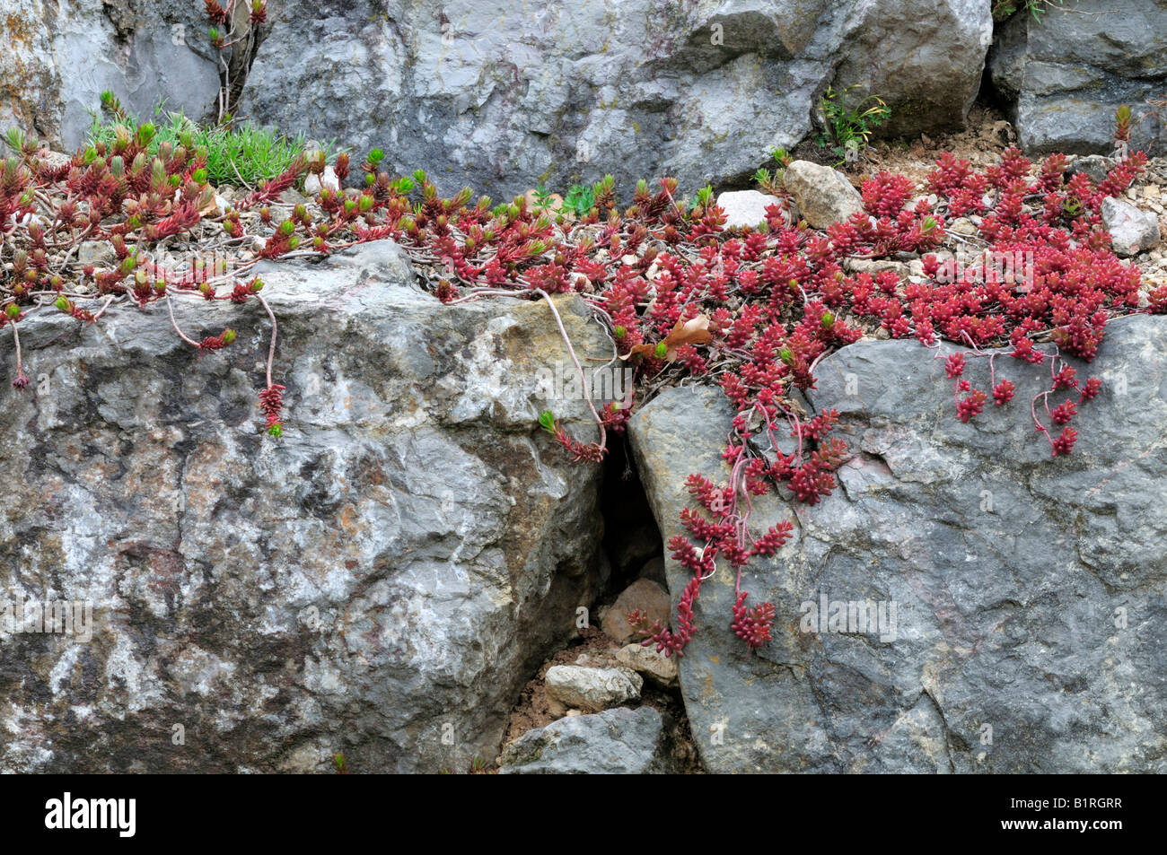Rock Stonecrop (Sedum forsterianum) growing on rocks, red list of alpine plants, Germany, Europe - Stock Image