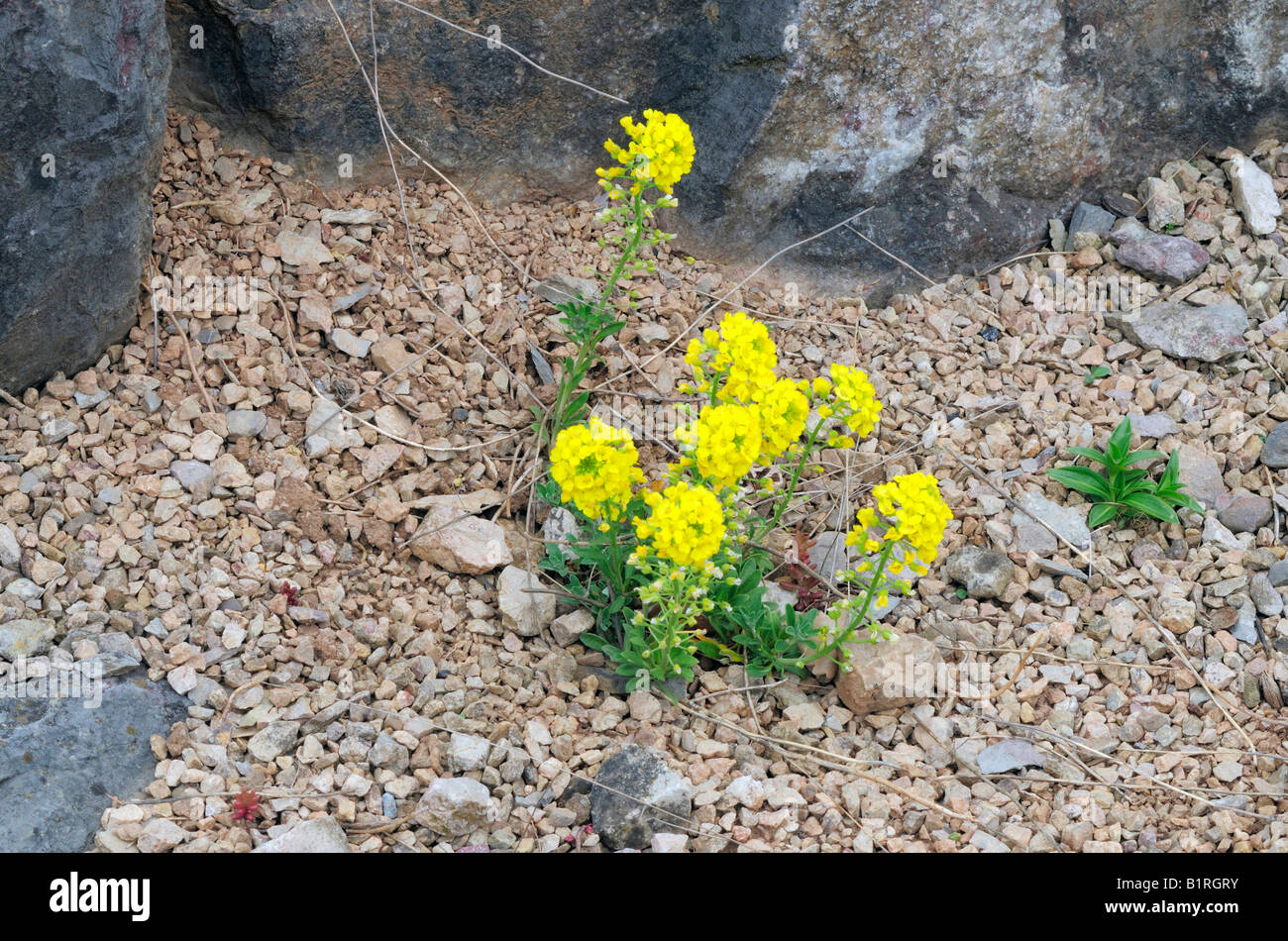 Mountain Madwort (Alyssum montanum) growing on a rock, alpine plants Stock Photo