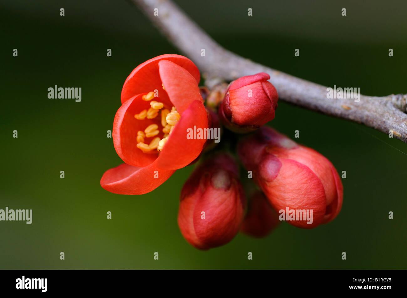 Japanese Chaenomeles (Chaenomeles japonica) Stock Photo