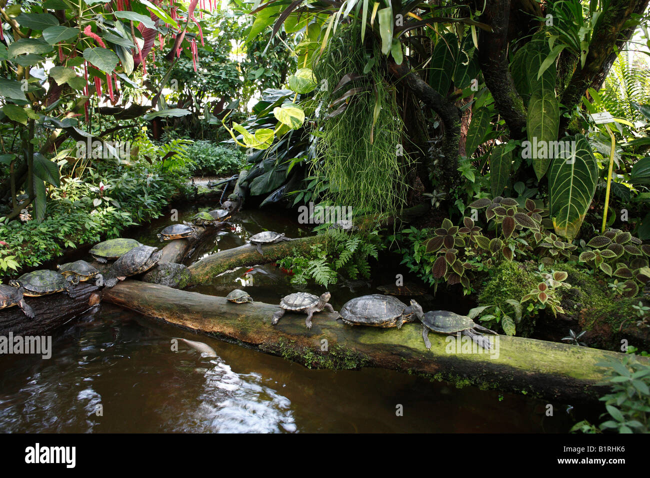 Turtles in the hothouse, Botanic Garden, Munich, Upper Bavaria, Germany, Europe - Stock Image