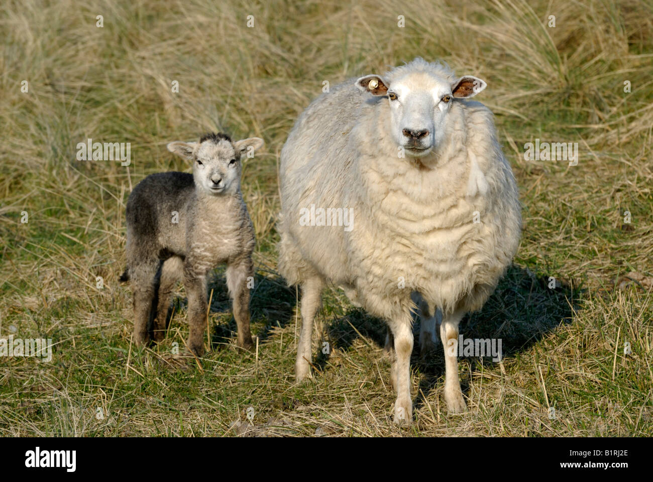 Two domestic sheep (Ovis orientalis aries), ewe with lamb - Stock Image