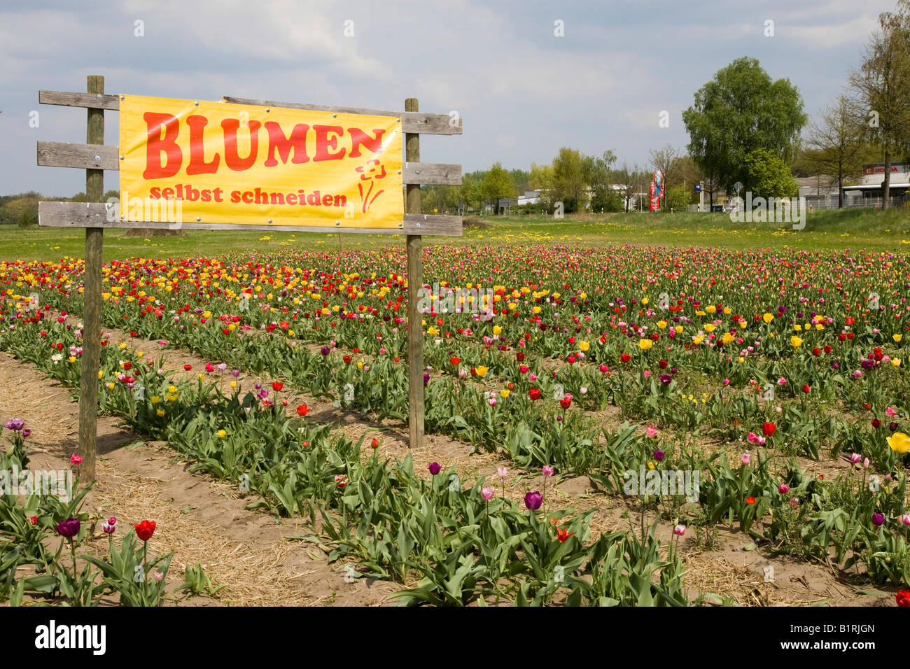 Sign reading Blumen selbst schneiden, pick flowers yourself, field of tulips, Bergstrasse mountain route, Hesse, - Stock Image