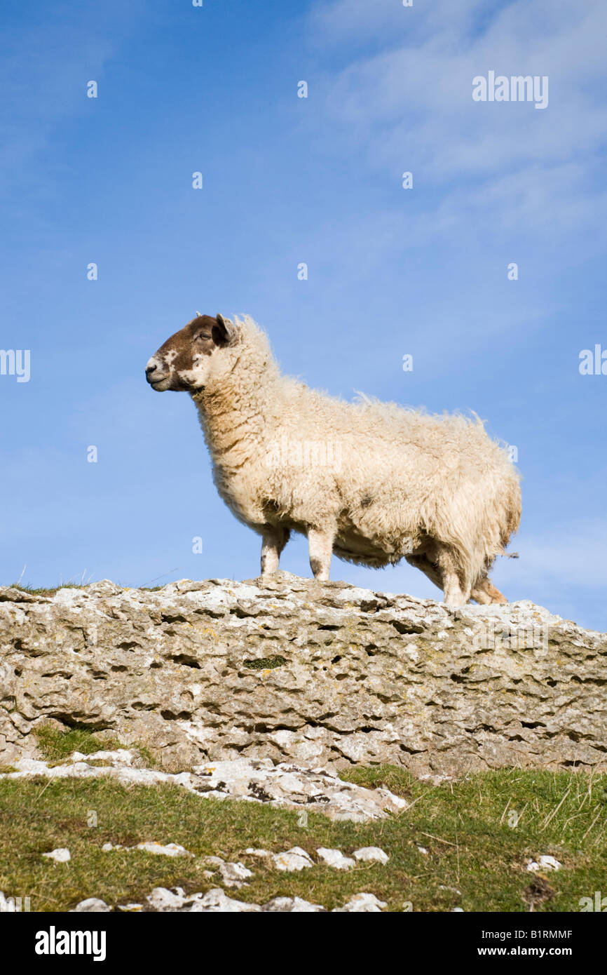 A Blackface sheep standing on rock side view looking left. North Wales UK Britain - Stock Image