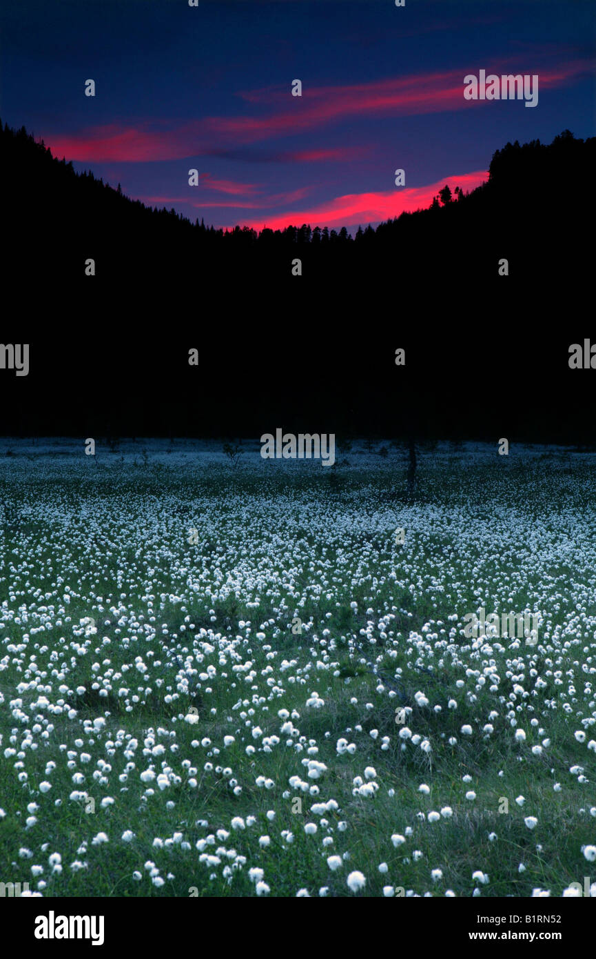 Cottongrass on a summernight near the mountain Andersnatten in Eggedal, Norway. - Stock Image