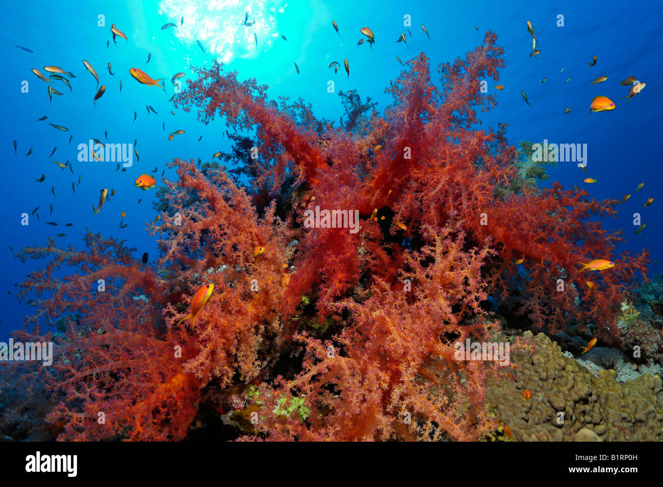 Red oceanic soft coral settled on a coral reef, Hurghada, Sharm el Sheik, Red Sea, Egypt, Africa - Stock Image