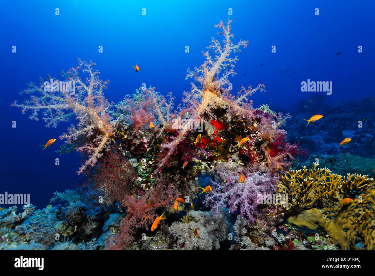 Small reef edge overgrown with various oceanic soft corals, madrepores and sponges, Hurghada, Sharm el Sheik, Red - Stock Image