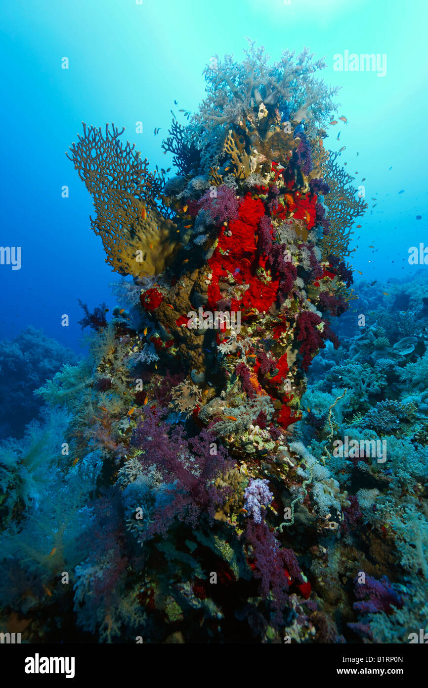 Coral tower made up of various oceanic soft corals, madrepores and sponges, Hurghada, Sharm el Sheik, Red Sea, Egypt, - Stock Image
