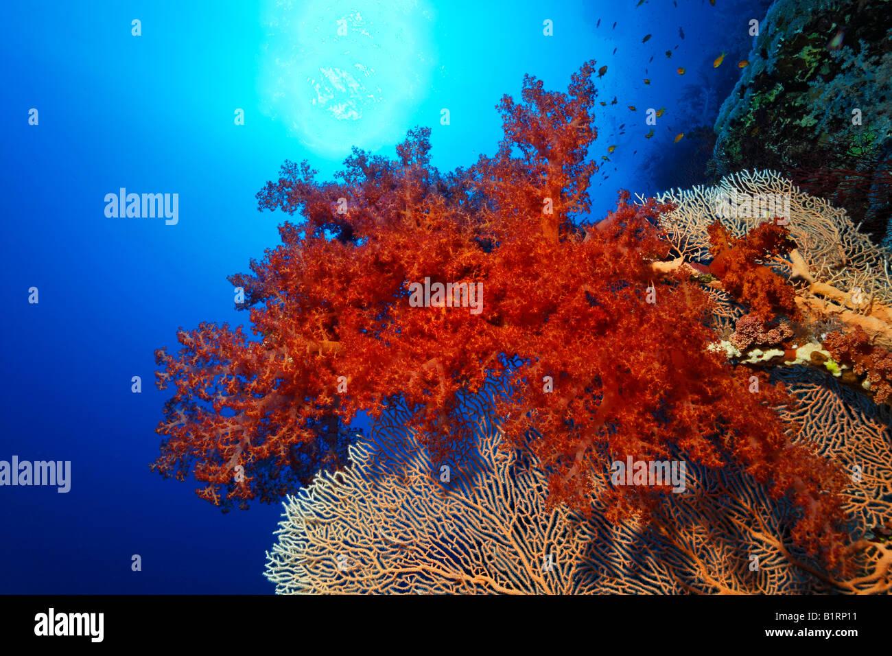Red oceanic soft coral settled on a Sea Fan or Gorgonian (Gorgonacea), Hurghada, Sharm el Sheik, Red Sea, Egypt, - Stock Image