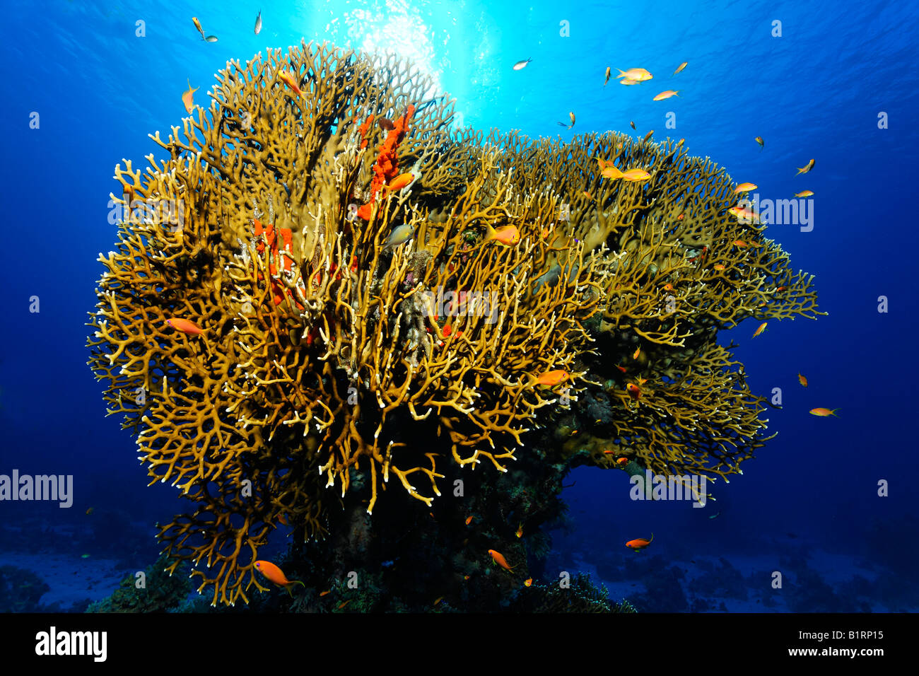 Bush of Fire Corals and Athias (Anthiinae) in backlight, Sharm el Sheik, Red Sea, Egypt, Africa - Stock Image