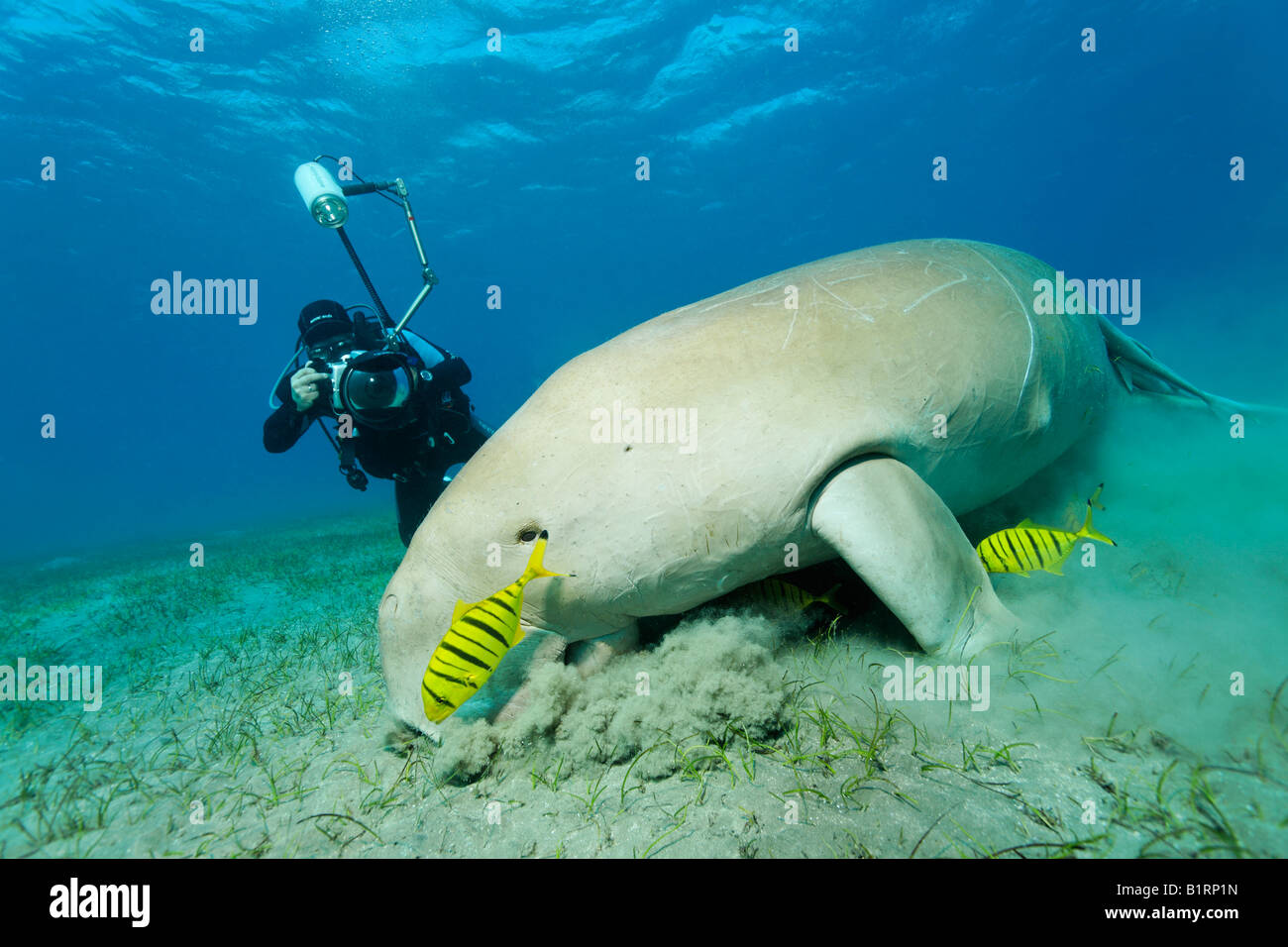 Dugong (Dugong dugon) and two Golden Trevally fish (Gnathanodon speciosus), Shaab Marsa Alam, Red Sea, Egypt, Africa - Stock Image