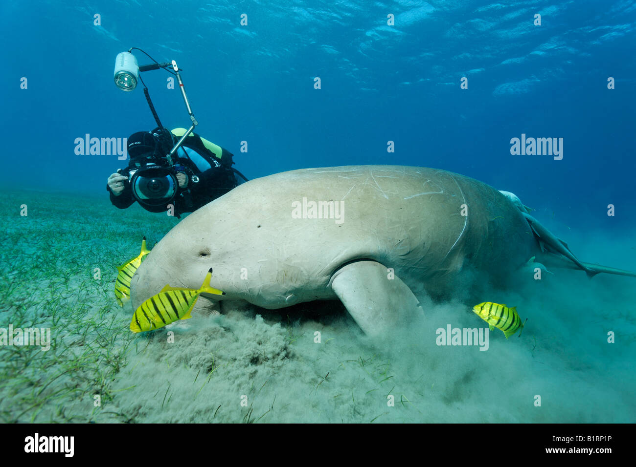 Dugong (Dugong dugon) and three Golden Trevally fish (Gnathanodon speciosus), Shaab Marsa Alam, Red Sea, Egypt, - Stock Image