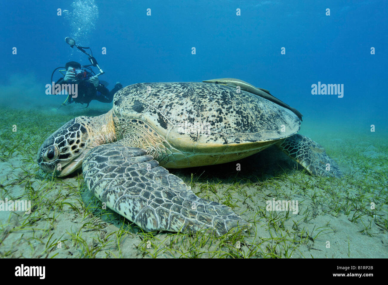 Underwater photographer taking a picture of a Green Sea Turtle (Chelonia mydas) with suckerfish, Hurghada, Red Sea, - Stock Image