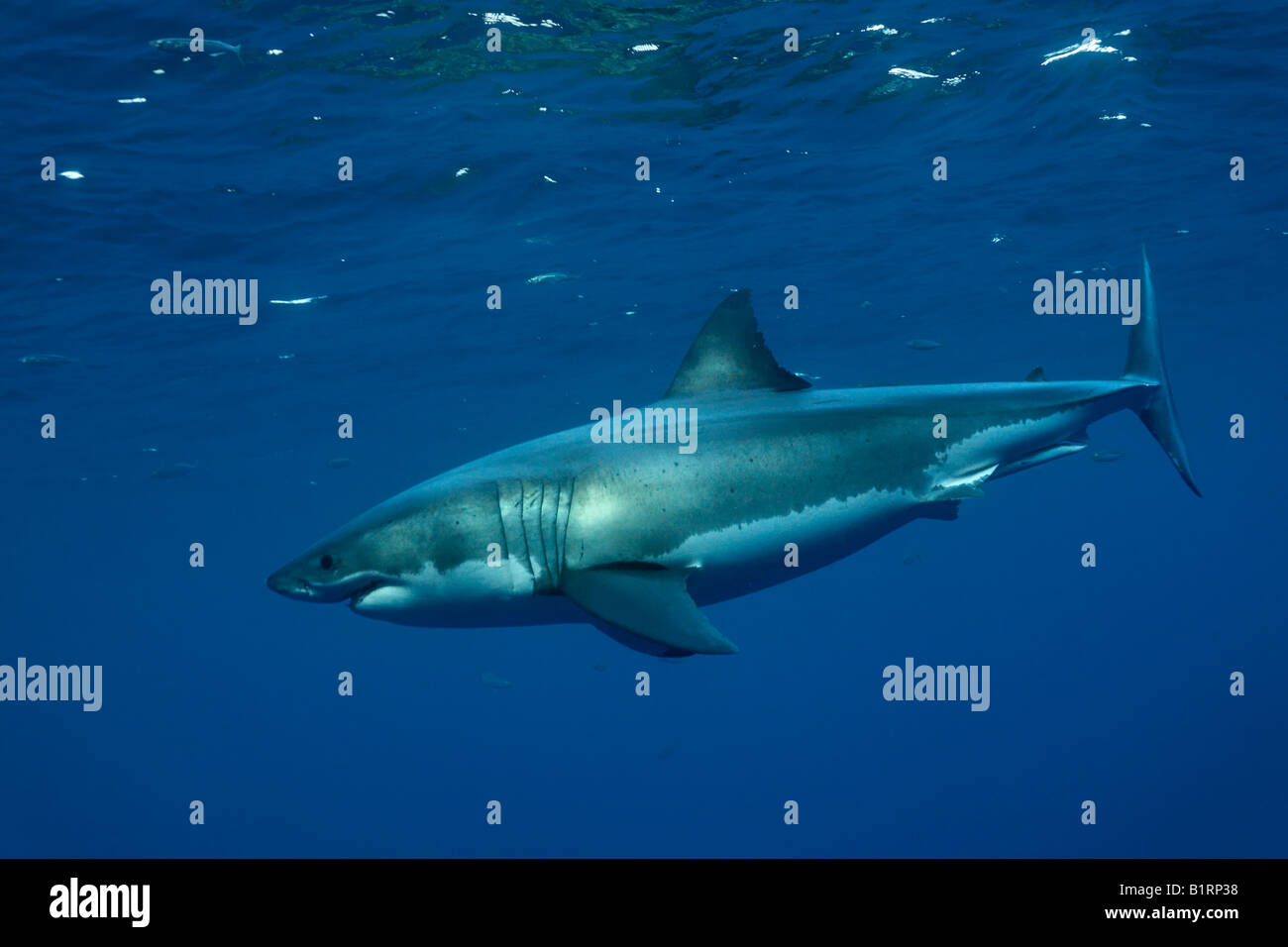 Great White Shark (Carcharodon carcharias), Guadalupe Island, Mexico, Pacific, North America - Stock Image