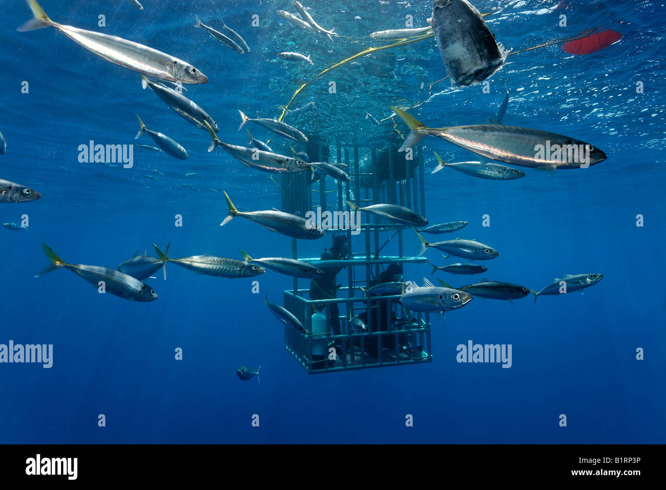 Scuba divers in a cage observing a Great White Shark (Carcharodon carcharias), Guadalupe Island, Mexico, Pacific, Stock Photo