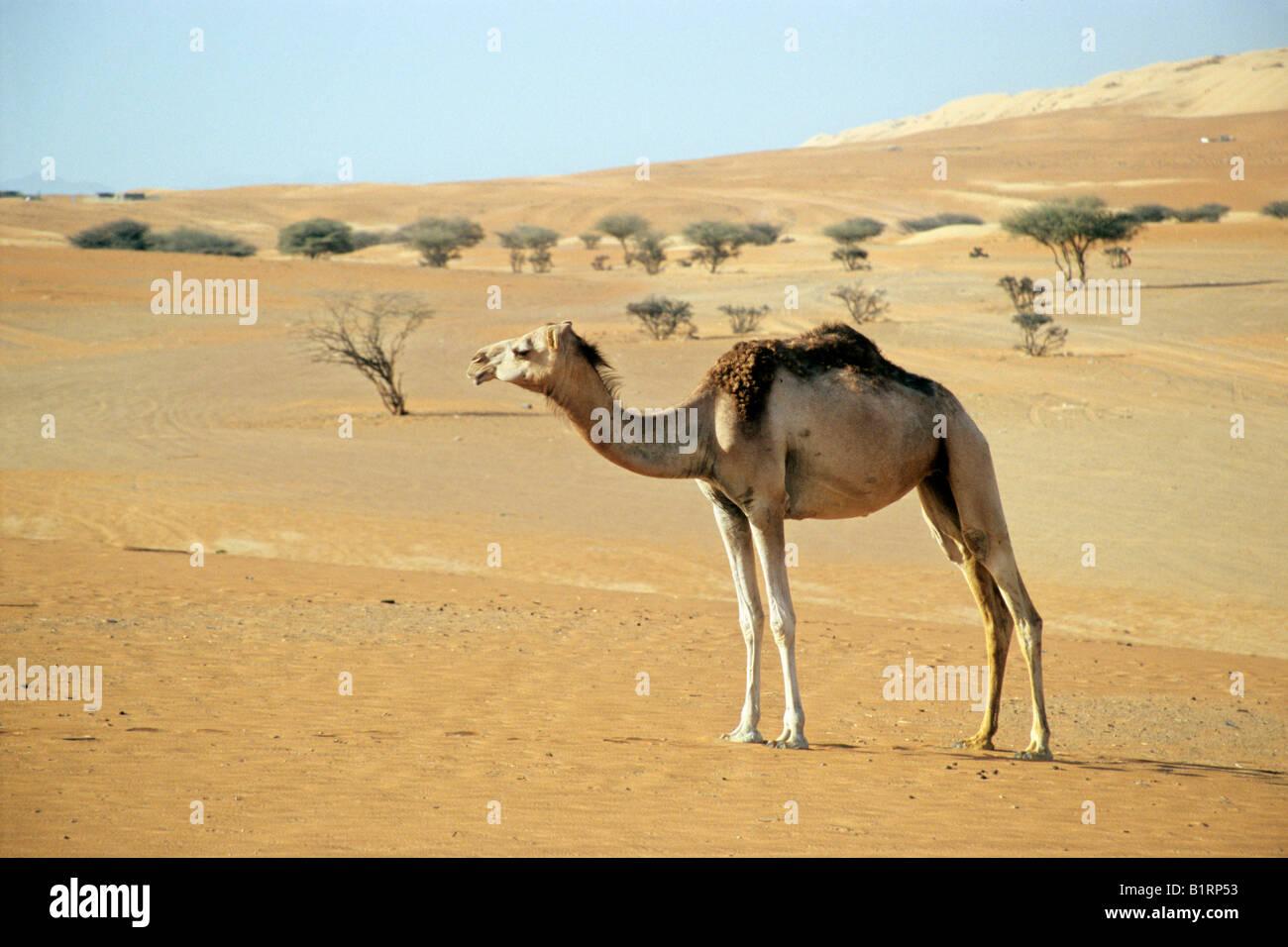 Dromedary Camel (Camelus dromedarius) in the desert in front of pines, Wahiba Sands, Oman, Arabian Peninsula, Middle - Stock Image