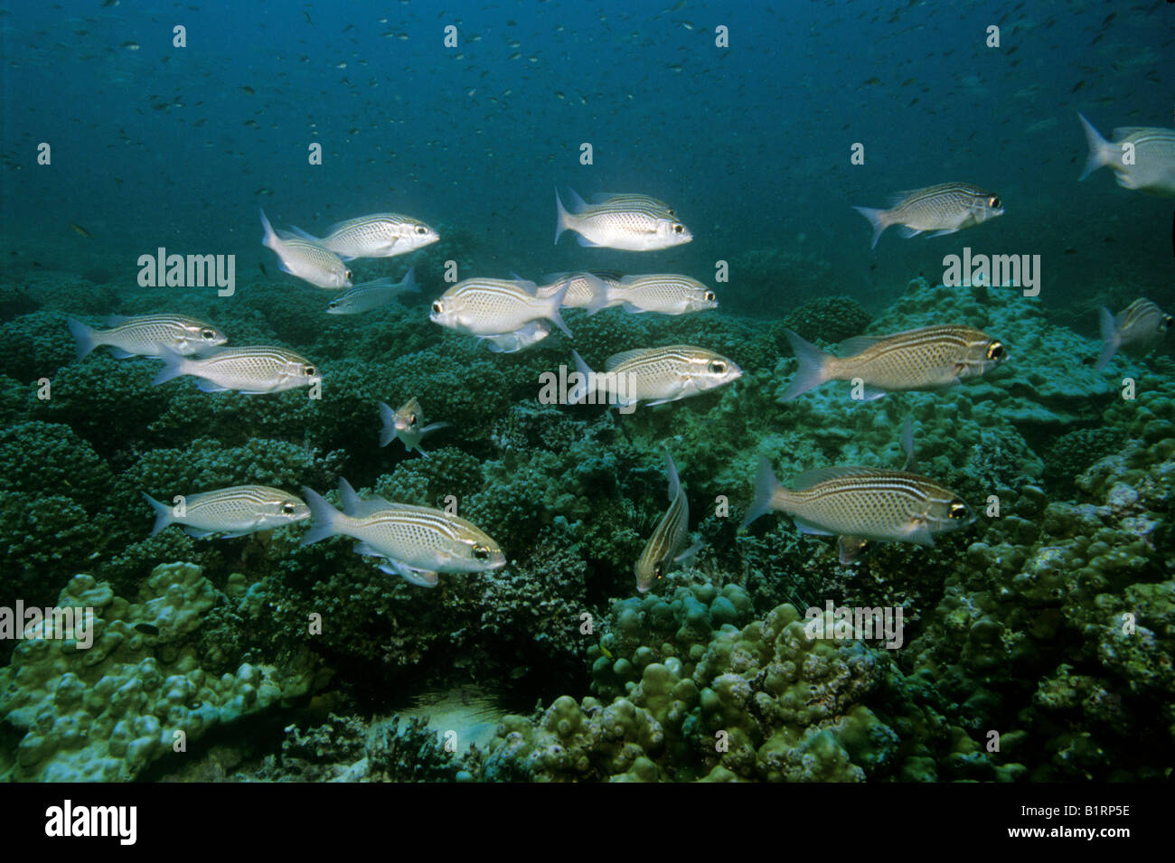 School of Arabian Bonocle Breams (Scolopsis ghanam) swimming over a coral reef, Oman, Middle East, Indian Ocean Stock Photo