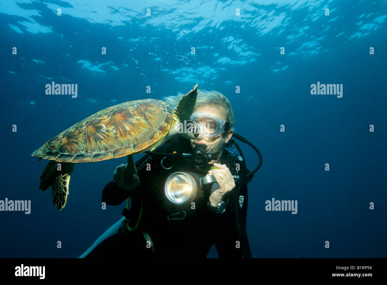 Young Green Sea Turtle, (Chelonia mydas) swimming curiously toward a scuba diver, Musandam, Oman, Middle East, Indian - Stock Image