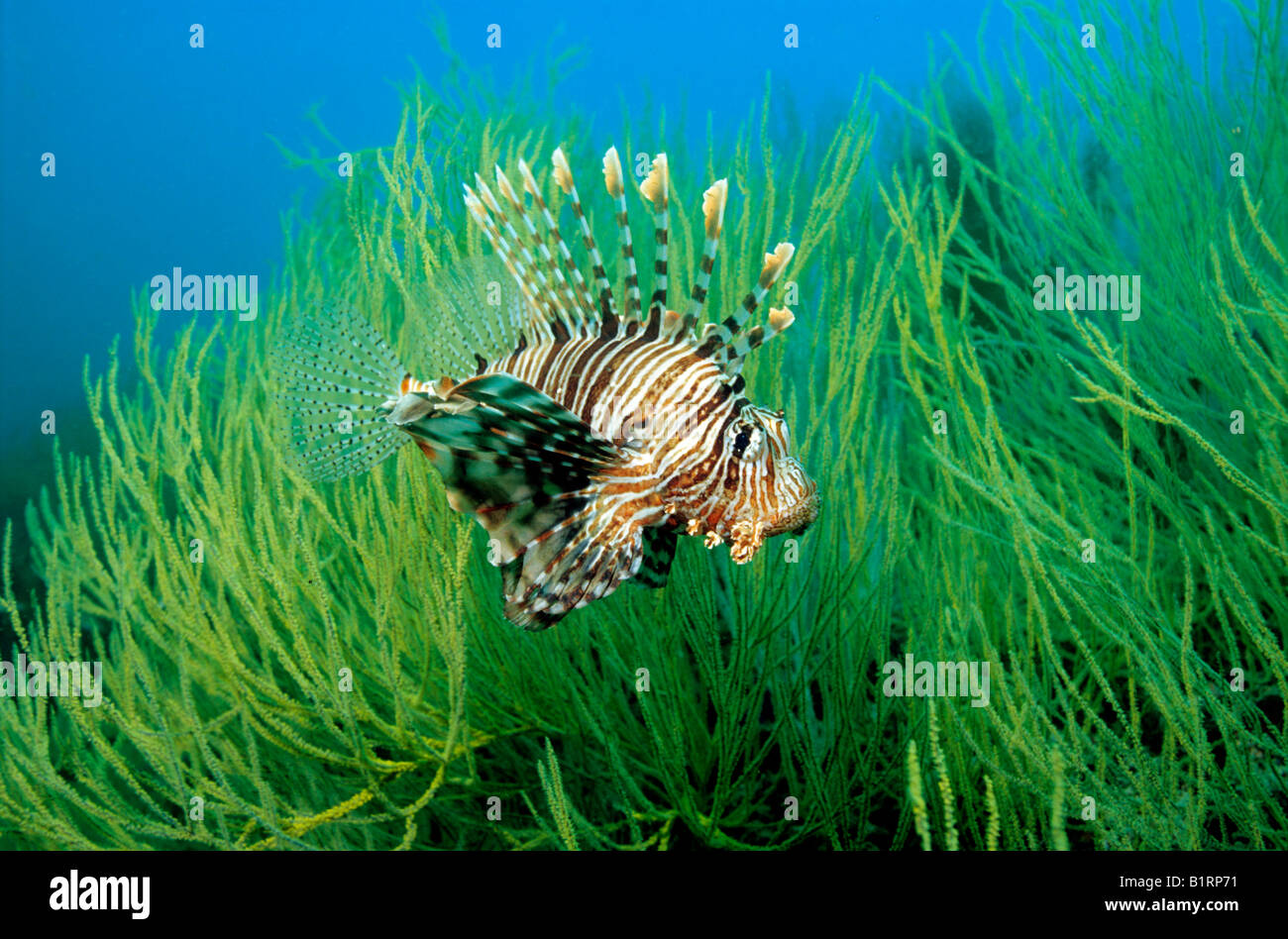 Red Lionfish (Pterois volitans) seeking protection in the branches of a black coral, Musandam, Oman, Arabian Peninsula, - Stock Image