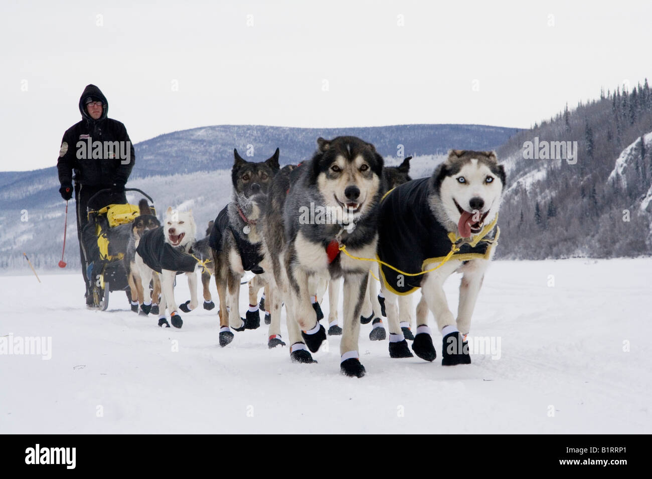 Yukon Quest Sled Dog Race musher Brent Sass, leaving Dawson City, with his dog team on the frozen Yukon River, Yukon - Stock Image