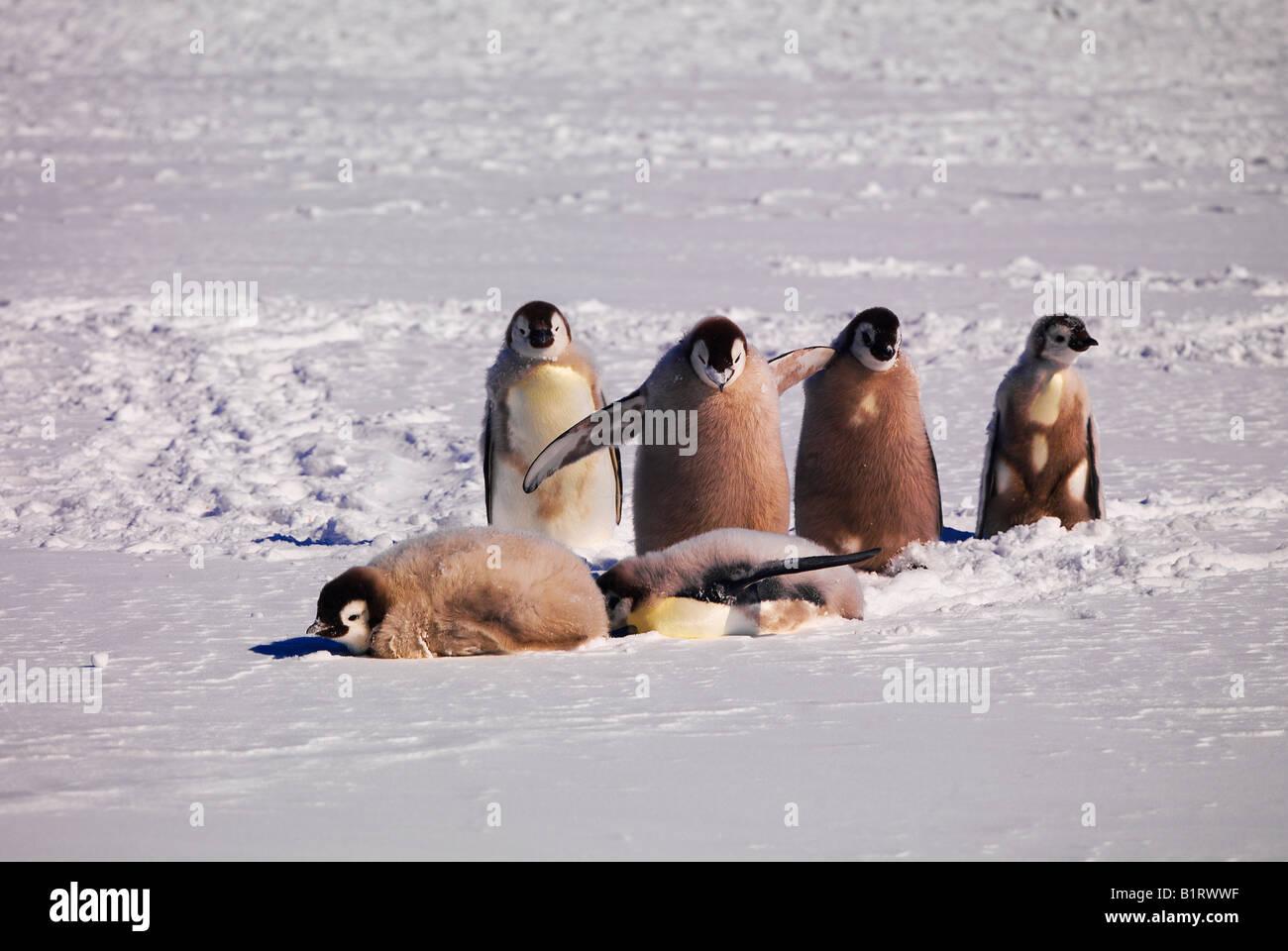 Emperor Penguins (Aptenodytes forsteri) at Cape Washington, Antarctic - Stock Image