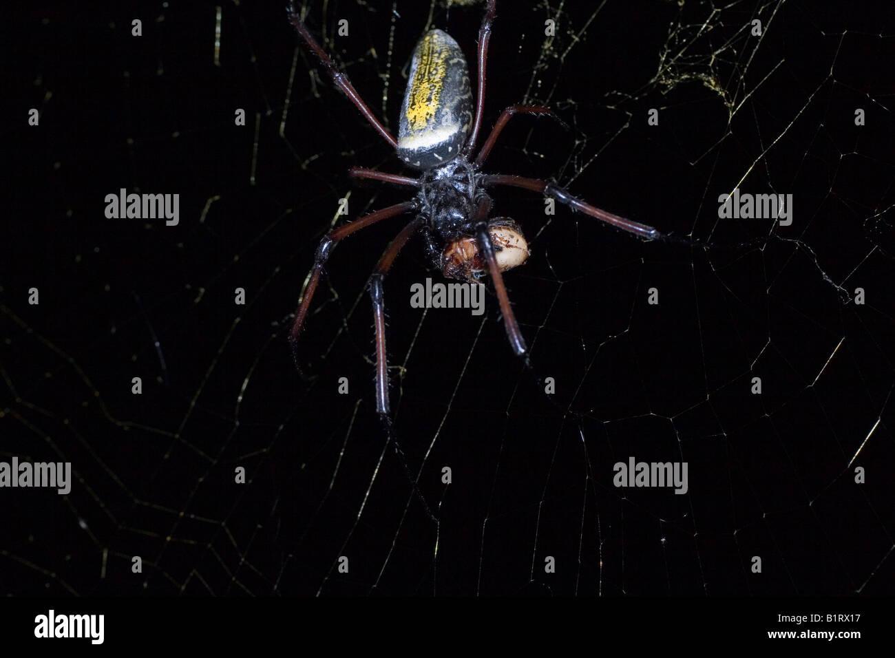 Golden Silk Orb-web or Orbweaver Spider (Nephila clavipes), Madagascar, Africa - Stock Image