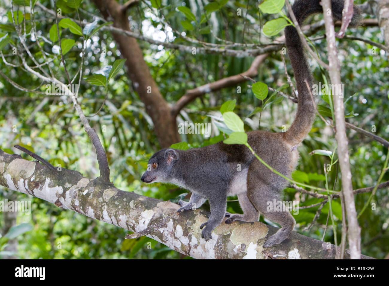 Eastern Lesser Bamboo or Gray Gentle Lemur (Hapalemur griseus), Madagascar, Africa - Stock Image