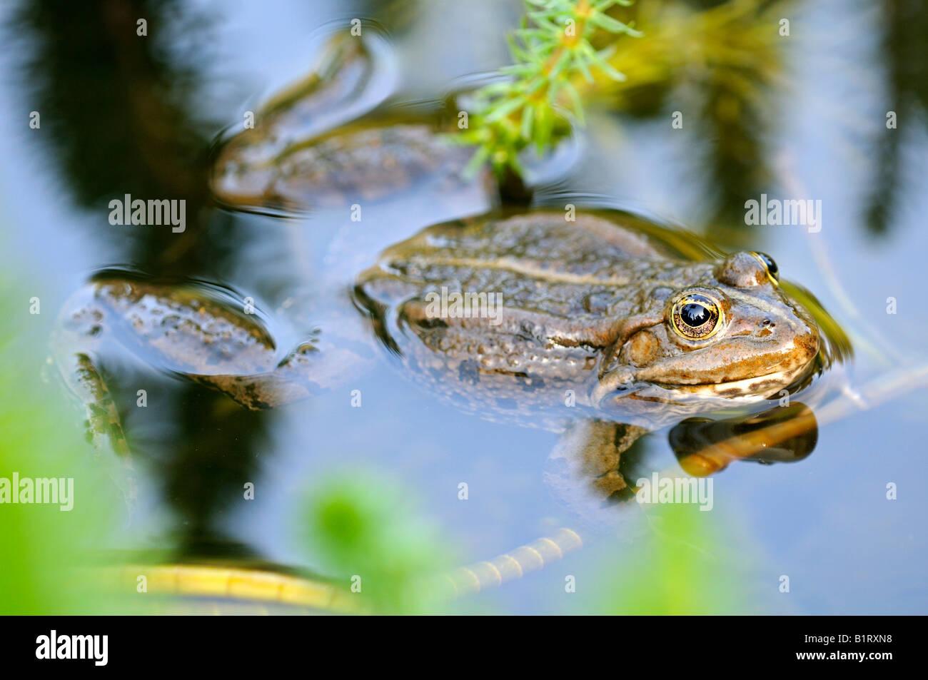 Edible Frog (Pelophylax kl. esculentus, Rana kl. esculenta) - Stock Image