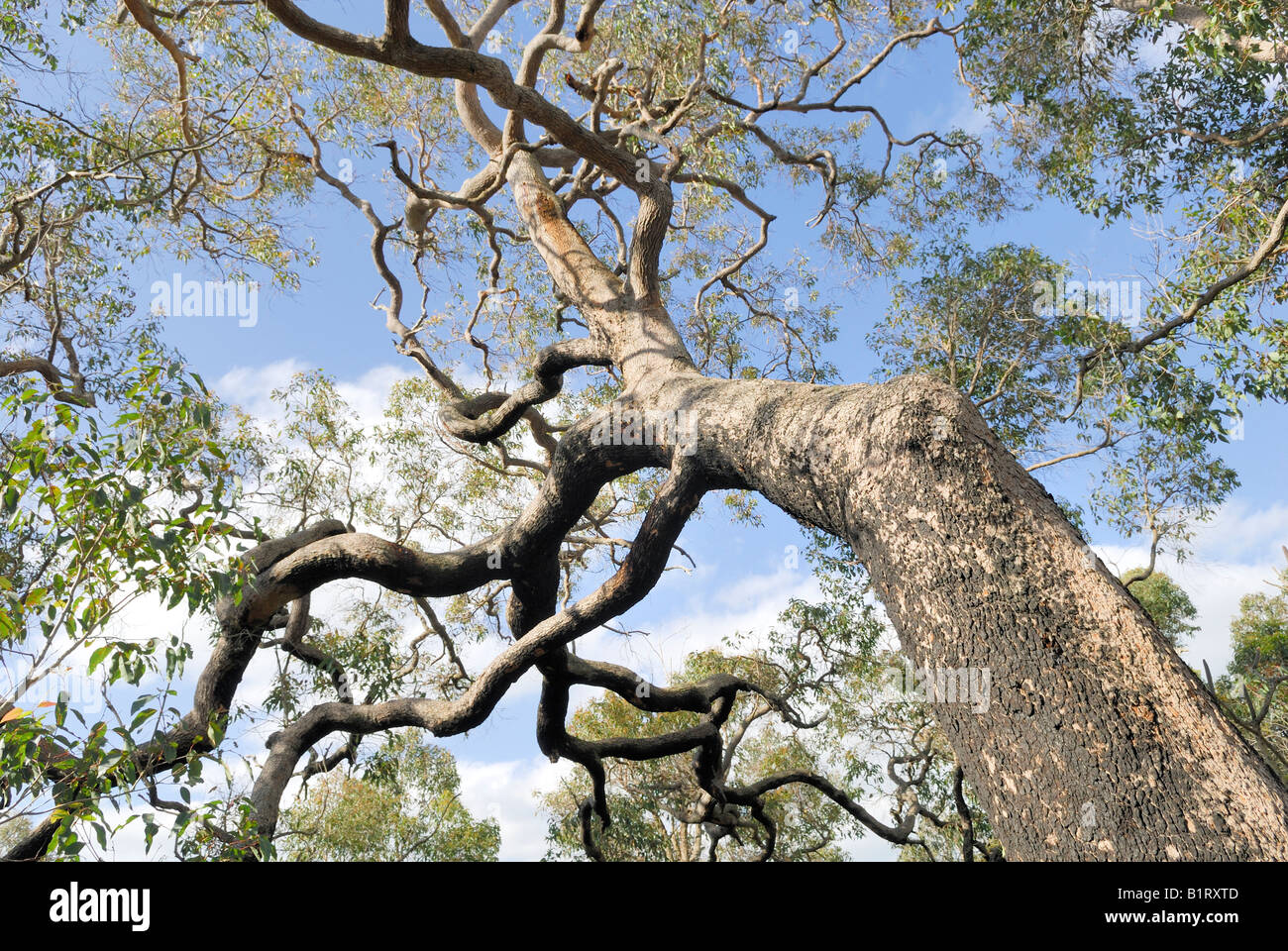 View of the crown or treetop of a River Red Gum (Eucalyptus camaldulensis), Busselton, Western Australia, Australia - Stock Image