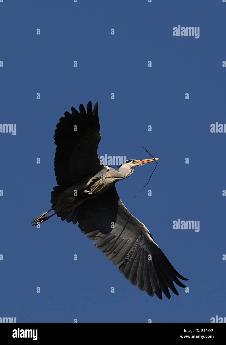 Flying Grey Heron (Ardea cinerea), a twig in its beak - Stock Image