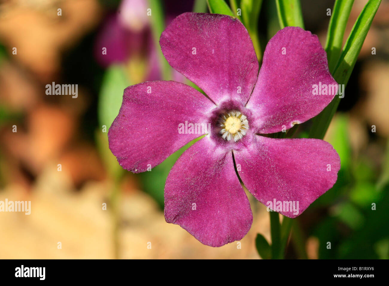 Periwinkle (Vinca minor), red-violet colored Stock Photo