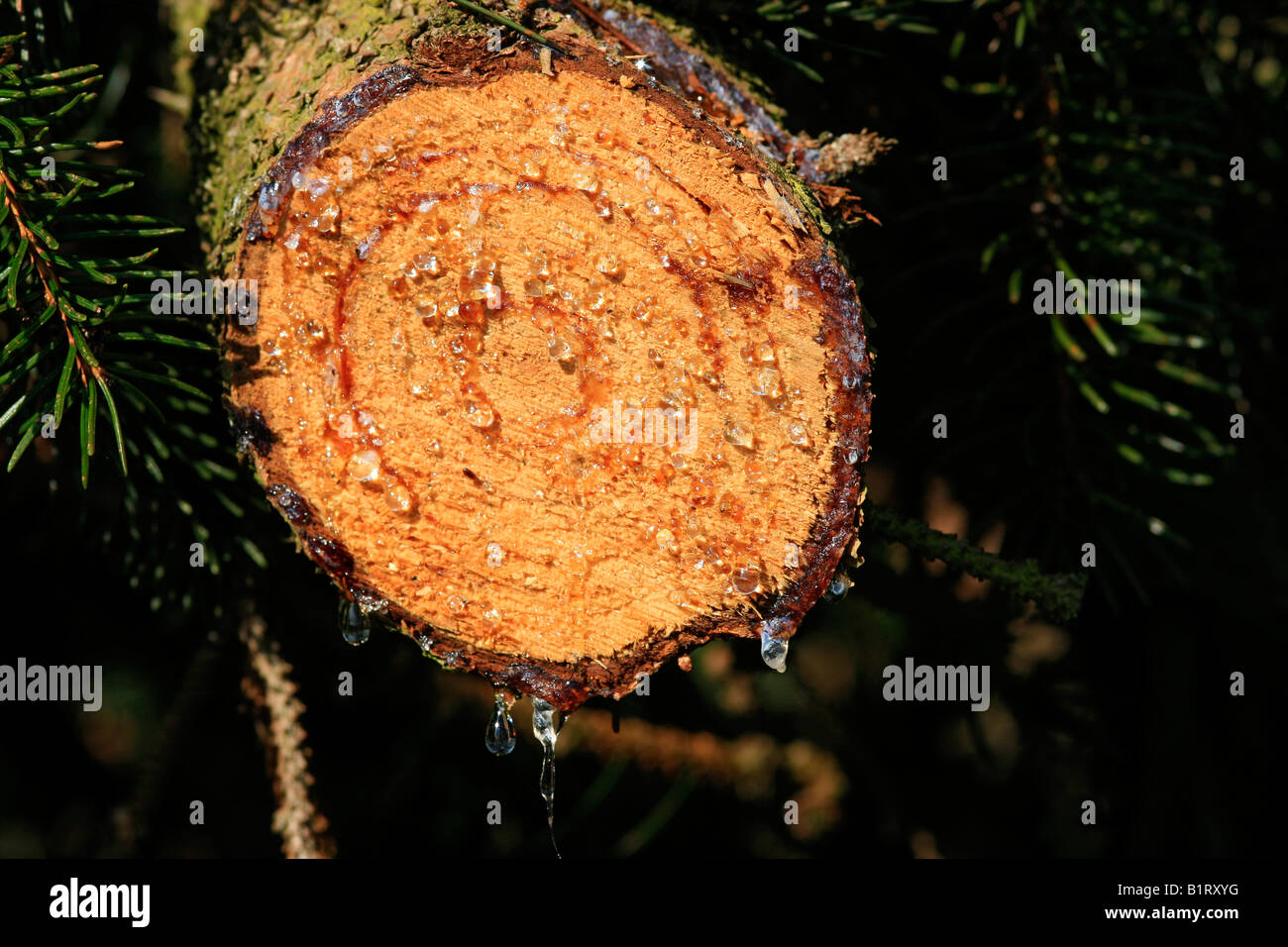 Resin, tree resin on the cut surface of a Norway Spruce (Picea abies) - Stock Image