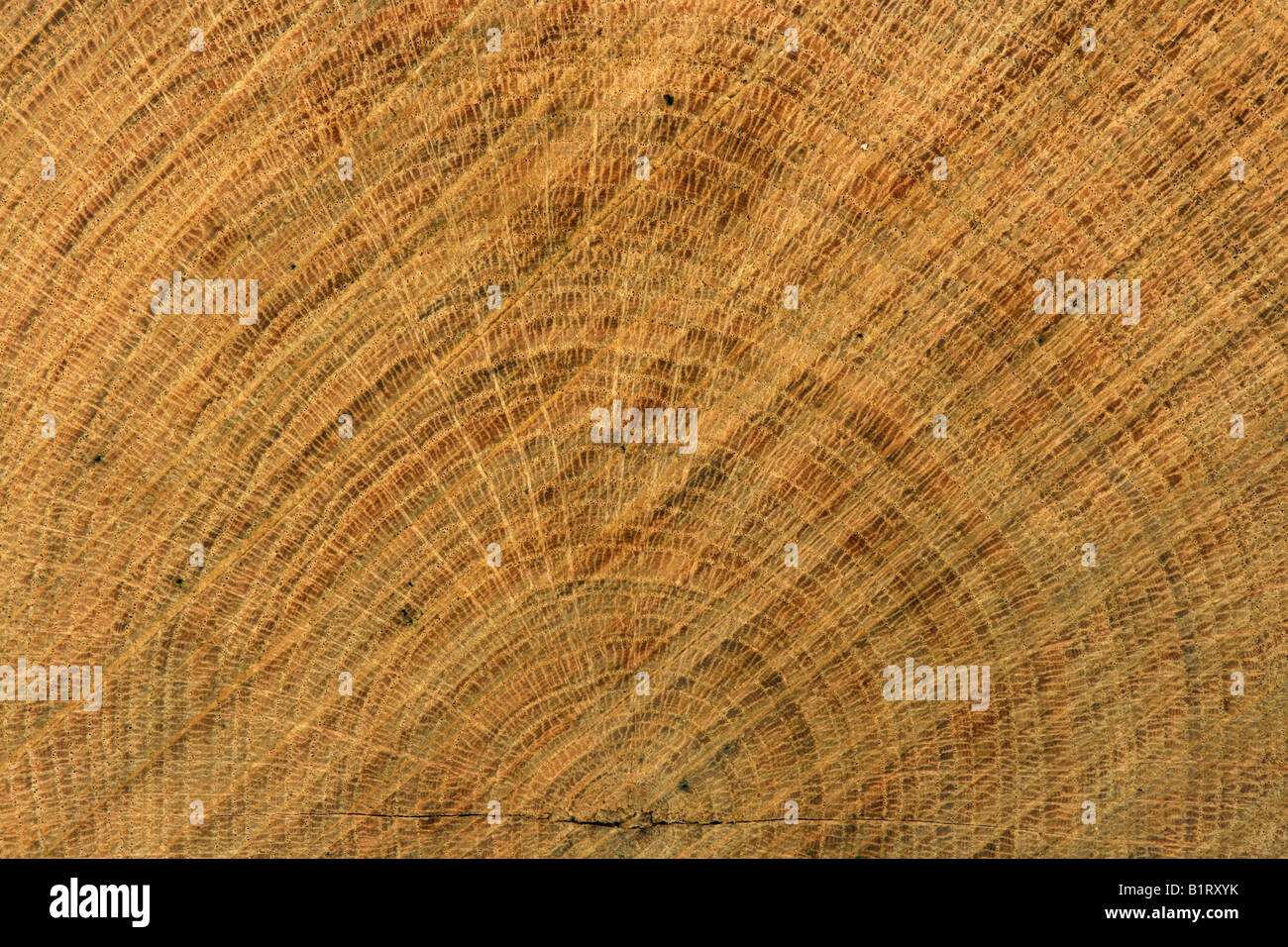 Cross section view of an Oak tree trunk (Quercus), growth rings and visible vascular bundles - Stock Image