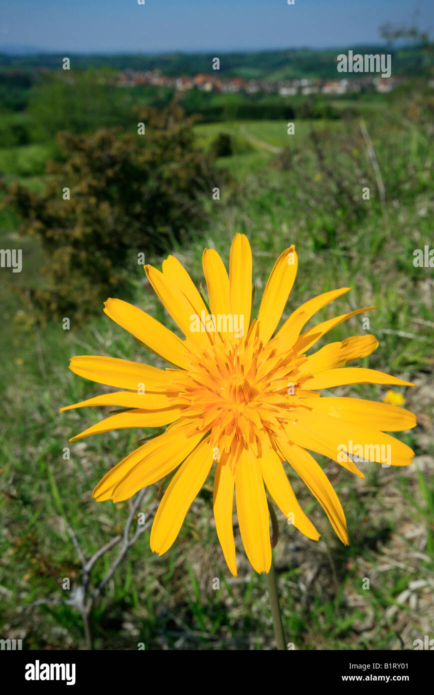 Meadow Salsify or Showy Goat's-beard or Jack-go-to-bed-at-noon (Tragopogon pratensis) in front of green landscape, - Stock Image