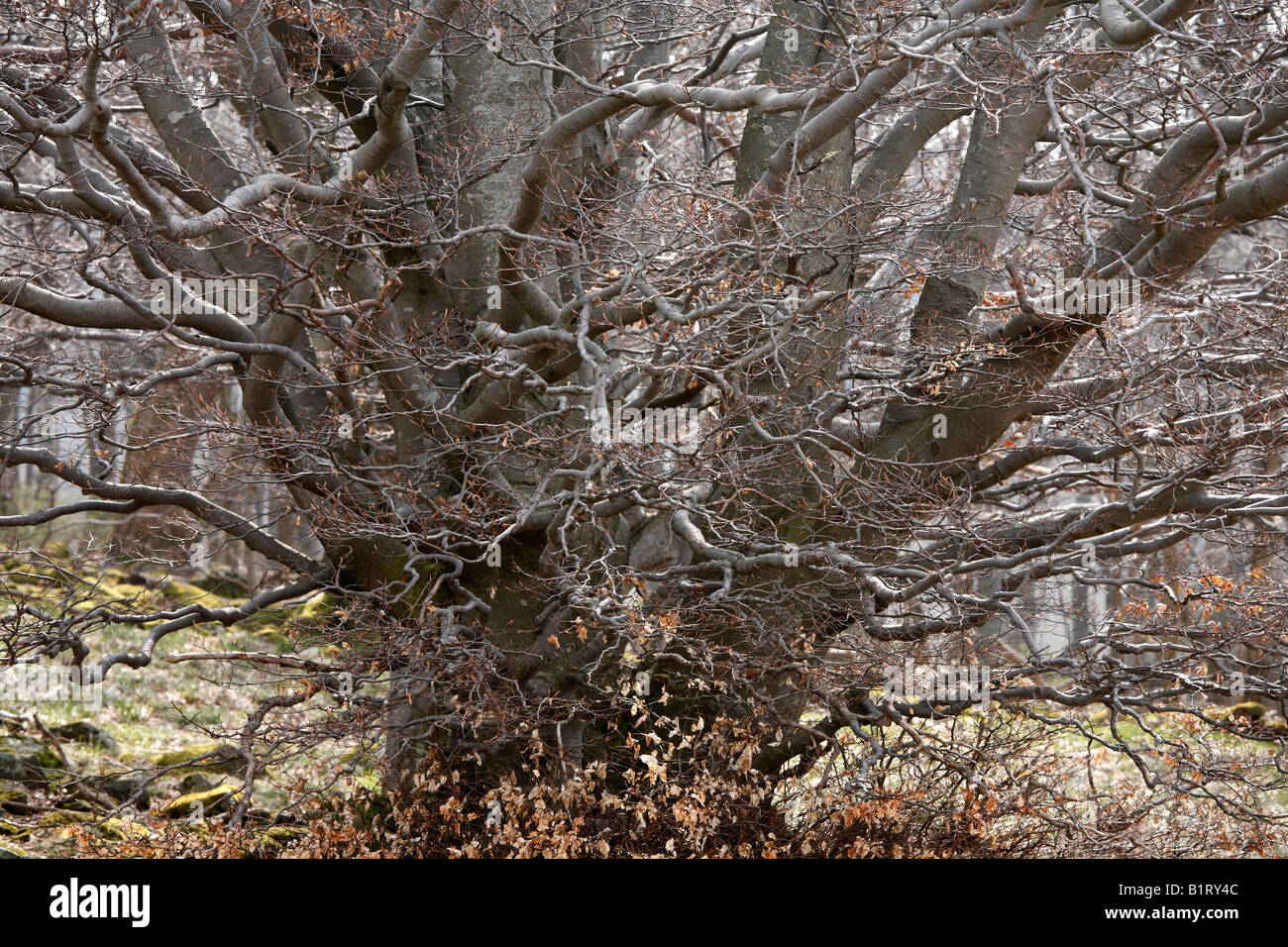 Old twisted Beech Tree (Fagus), Lange Rhoen, Lower Franconia, Bavaria, Germany, Europe - Stock Image