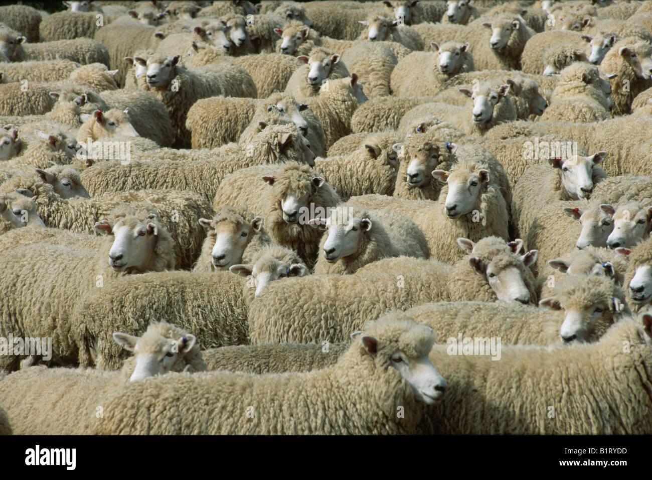 A herd of Merino Sheep (Ovis orientalis aries), North Island, New Zealand - Stock Image
