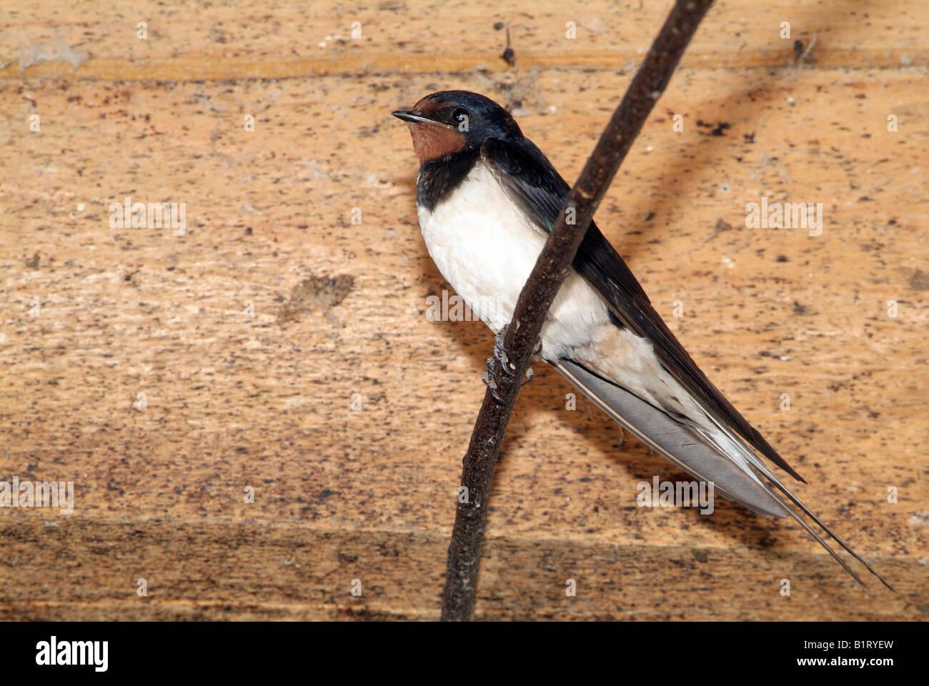 Barn Swallow (Hirundo rustica), Schwaz, Tyrol, Austria, Europe Stock Photo