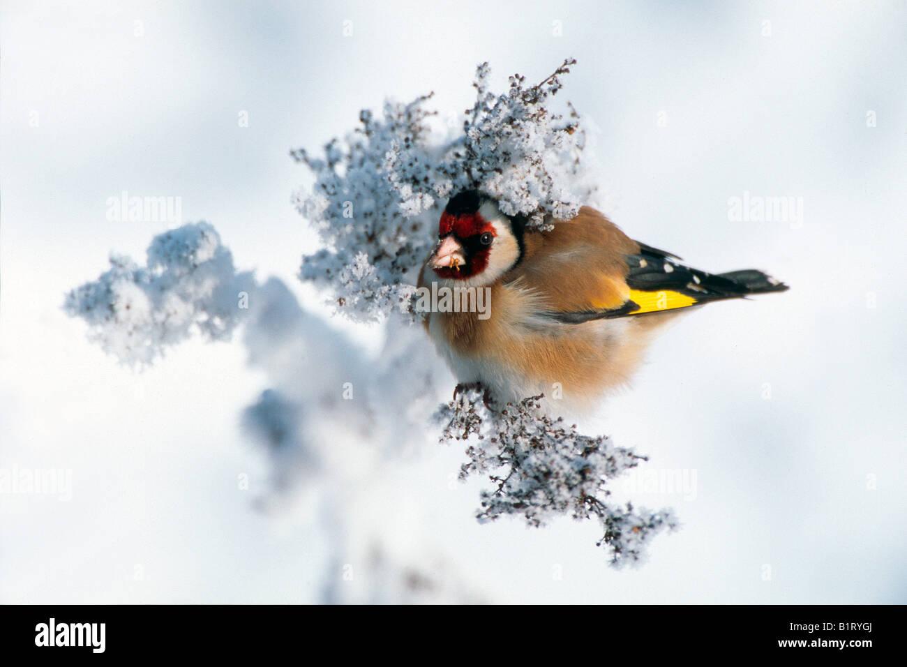 European Goldfinch (Carduelis carduelis), Zillertal Valley, Tyrol, Austria, Europe Stock Photo