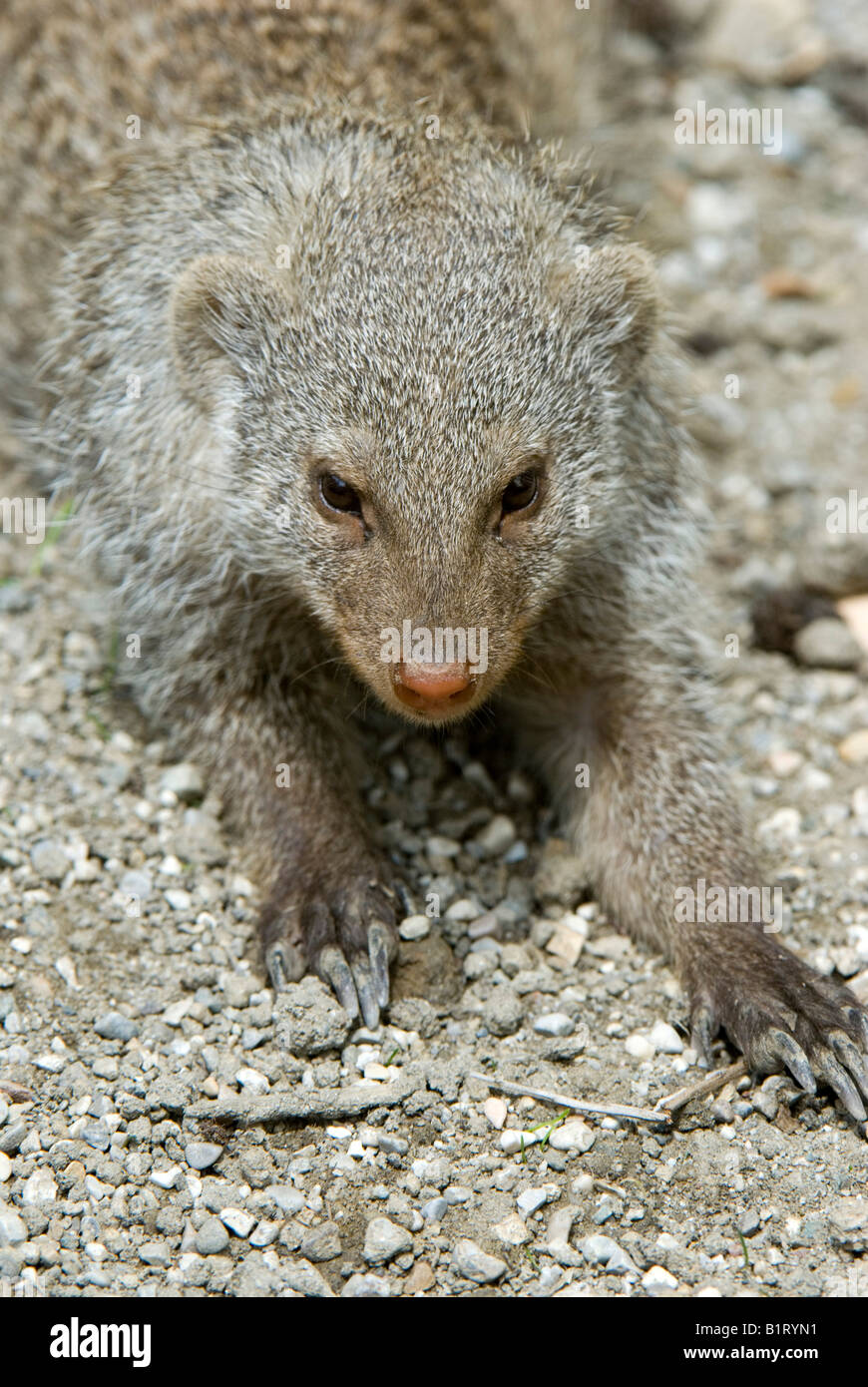Banded Mongoose (Mungos mungo), Salzburg Zoo, Salzburg, Austria, Europe Stock Photo