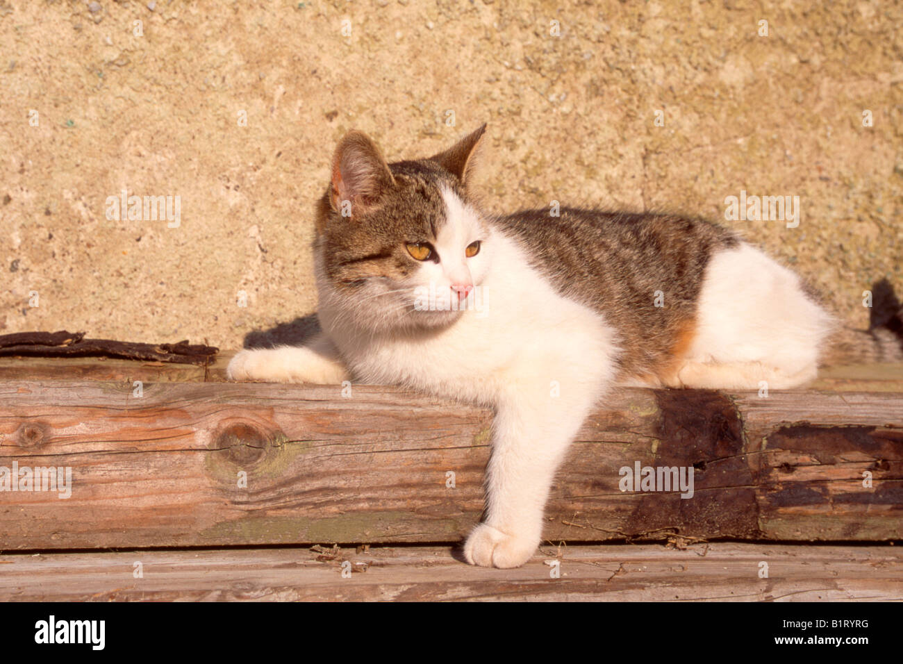 Domestic Cat (Felis silvestris f. catus) Stock Photo