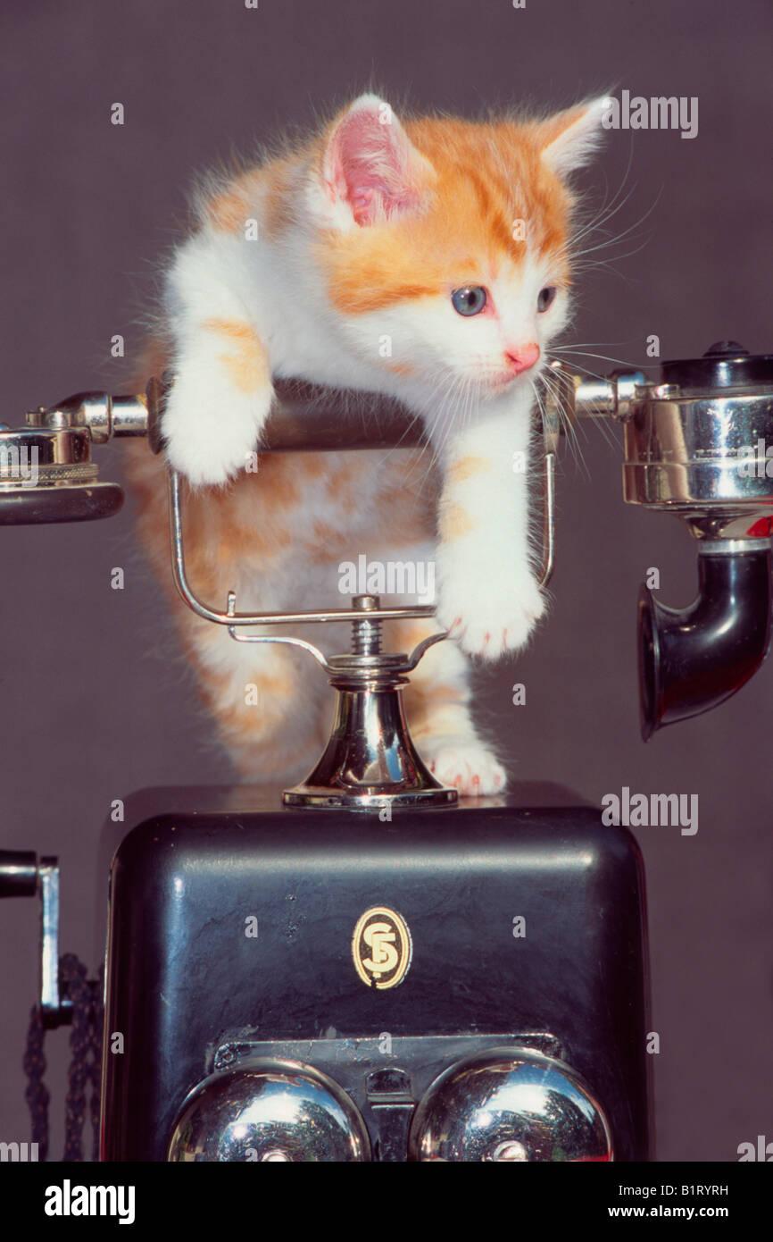 Domestic Cat (Felis silvestris f. catus), kitten - Stock Image