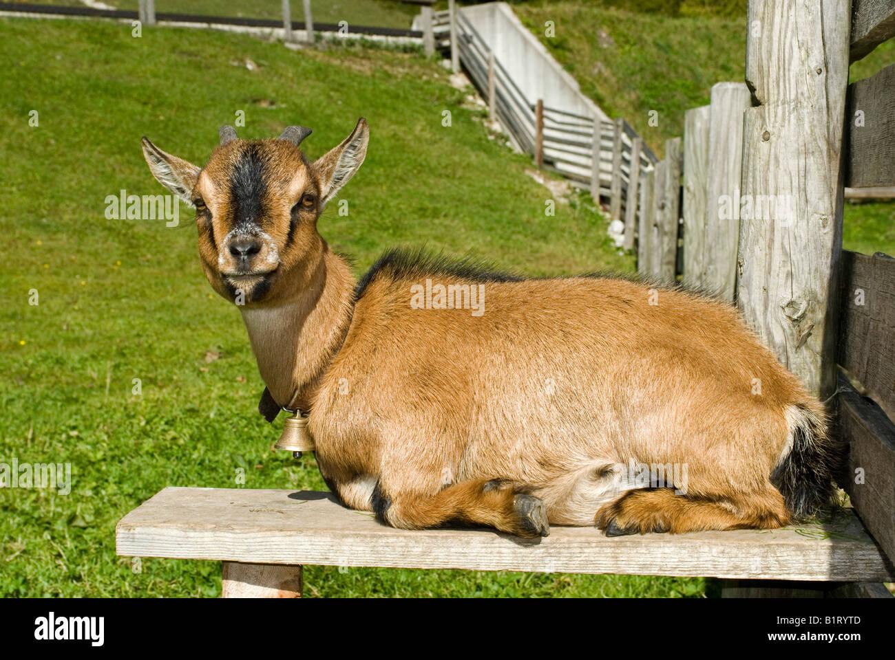 Pygmy Goat (Capra hircus), Eng-Alm, Eng Alp, Karwendel Range, Austria, Europe - Stock Image