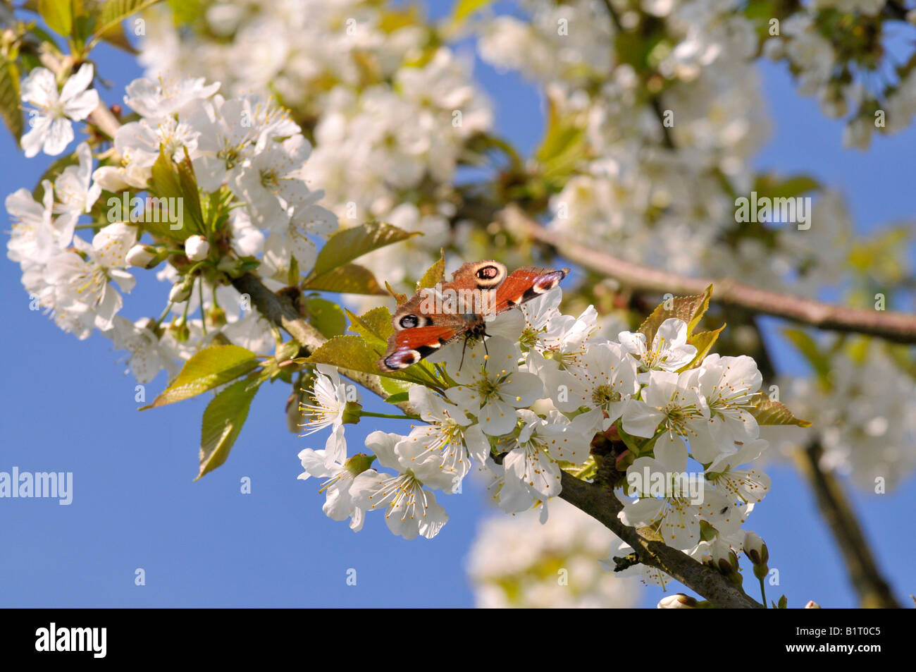 European Peacock Caterpillar Butterfly (Inachis io) perched on a cherry tree blossom (Cerasus) - Stock Image