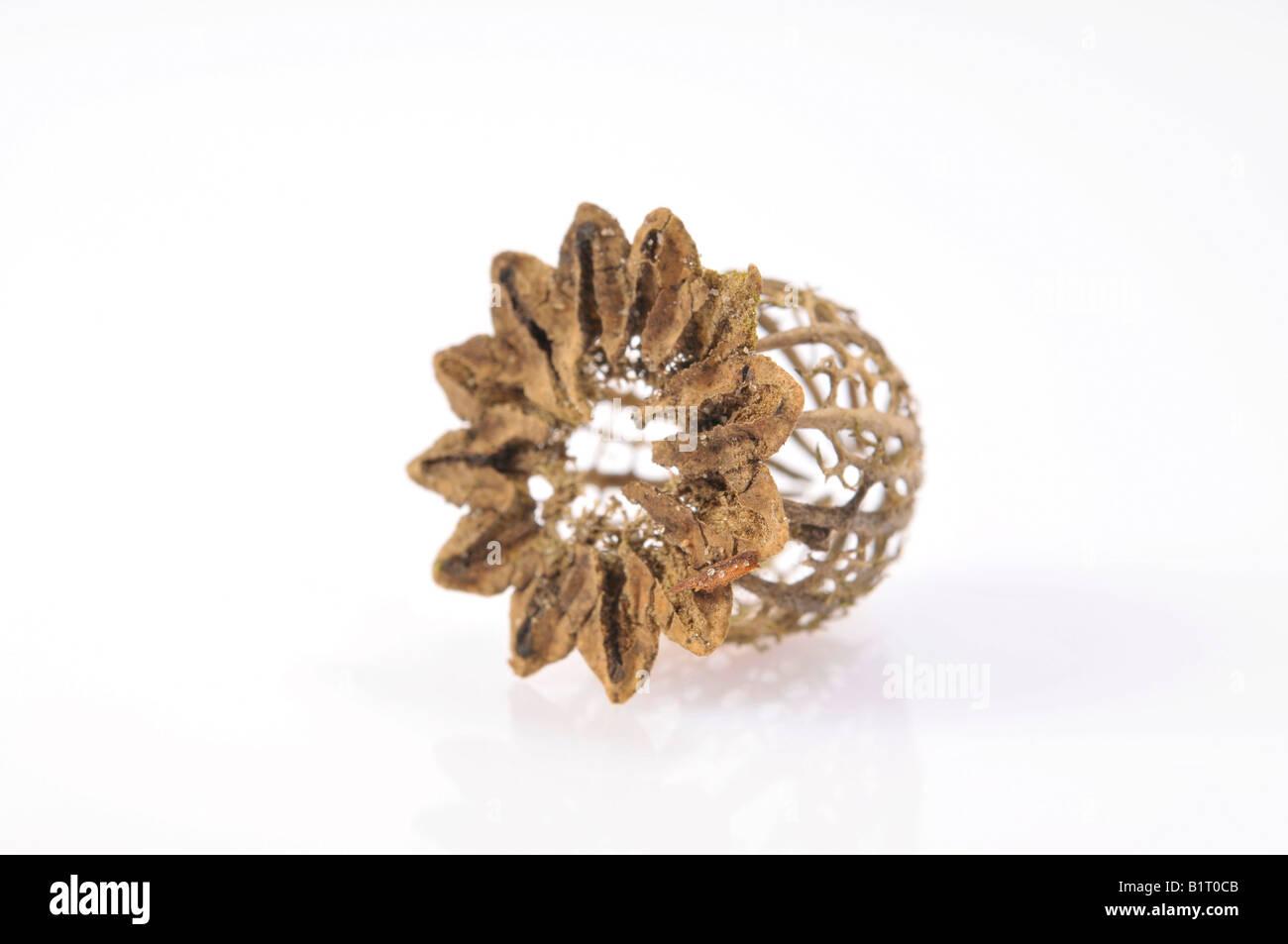 Filigree dried poppy capsule (Papaver) Stock Photo